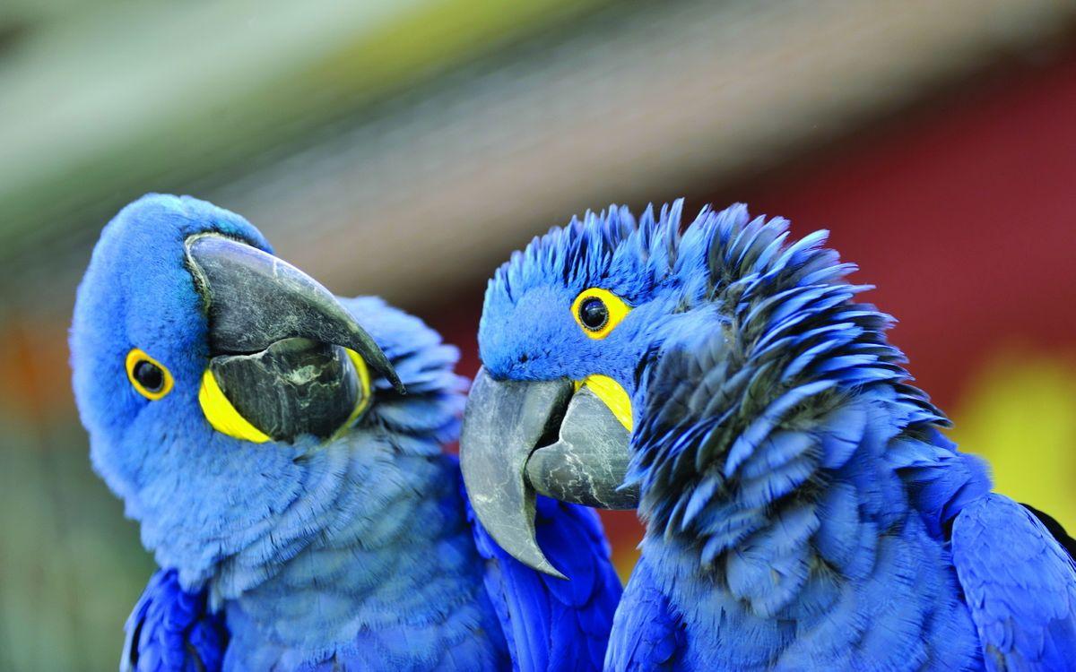 Фото бесплатно попугаи, крылья, клюв, глаза, перья, синие, пара, семья, птицы, птицы