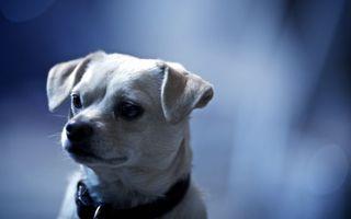 Фото бесплатно щенок, уши, ошейник