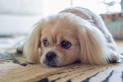 Фото бесплатно собачка, кремовый, задумчивый