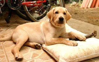Фото бесплатно собака, кабель, сучка