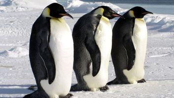 Бесплатные фото три,пингвина,северный,полюс,снег,мороз,птицы