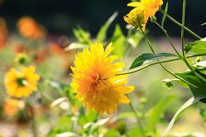 Фото бесплатно цветы, золотой шар, лето