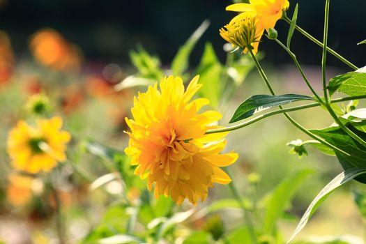 Photo free flowers, golden ball, summer