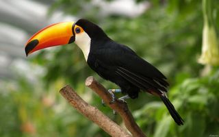 Photo free toucan, wings, paws