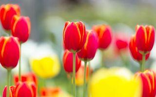 Бесплатные фото тюльпаны,поле,лепестки,стебель,листья,разноцветные,весна