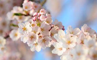 Бесплатные фото вишня,ветка,листья,лепестки,бутон,весна,тепло