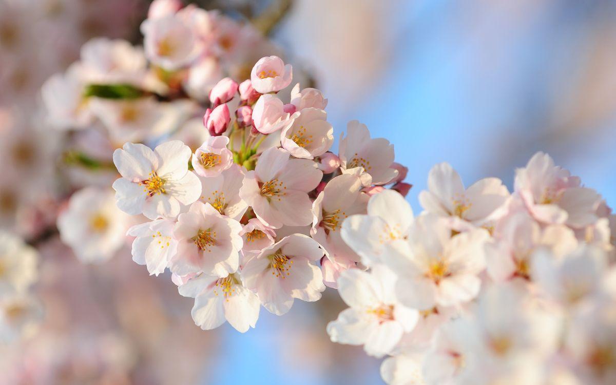 Фото бесплатно вишня, ветка, листья, лепестки, бутон, весна, тепло, почки, розовые, цветы, цветы