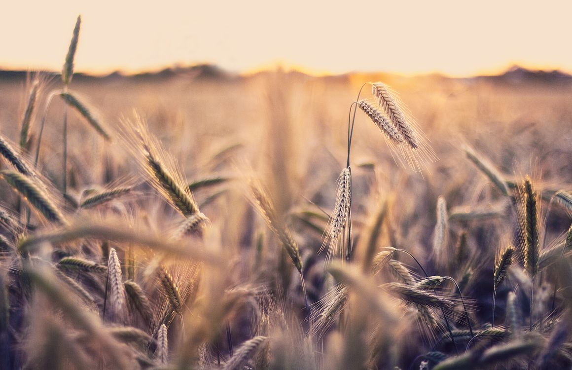Обои поле, колоски, обои, природа, макро, фото на телефон   картинки разное