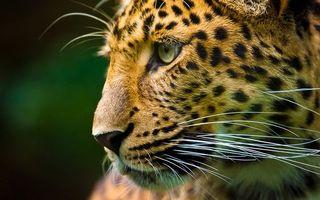 Фото бесплатно леопард, моська, усы