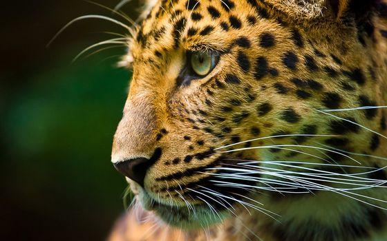 Заставки леопард, моська, усы