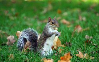 Фото бесплатно белка, орех, хвост