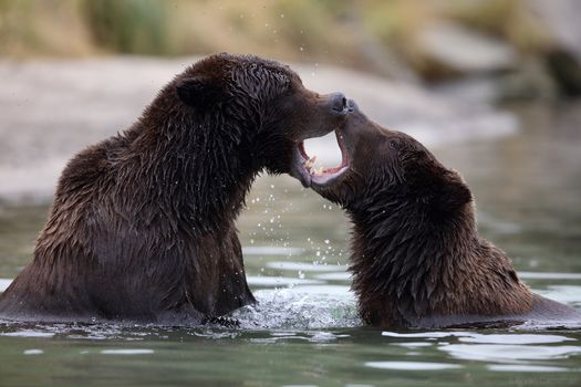 Photo free Brown Bear, Katmai national Park, Alaska pictures