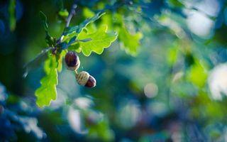 Фото бесплатно дубовые желуди, дуб, ветви, листья