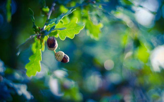 Фото бесплатно дубовые желуди, дуб, ветви