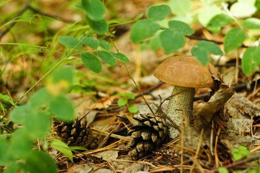Бесплатные фото гриб,шишки,листва,сухая,трава,зеленая,природа