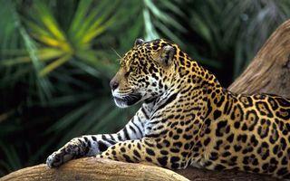 Заставки леопард, отдых, ветка