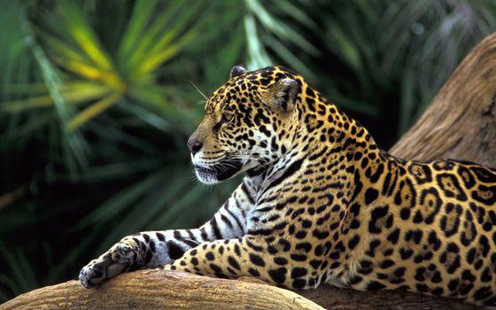Бесплатные фото леопард,отдых,ветка,дерево,пальмы,животные