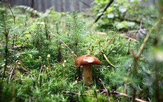 Фото бесплатно лес, гриб, елки