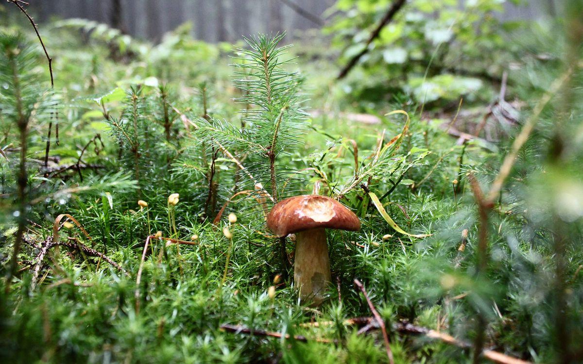 Фото бесплатно лес, гриб, елки - на рабочий стол