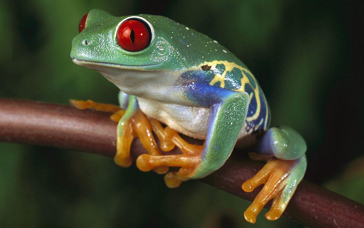 Фото бесплатно лягушка, зеленая, глаза - на рабочий стол