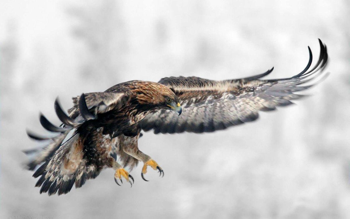 Фото бесплатно орел, крылья, размах - на рабочий стол
