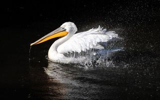 Photo free pelican, water, spray