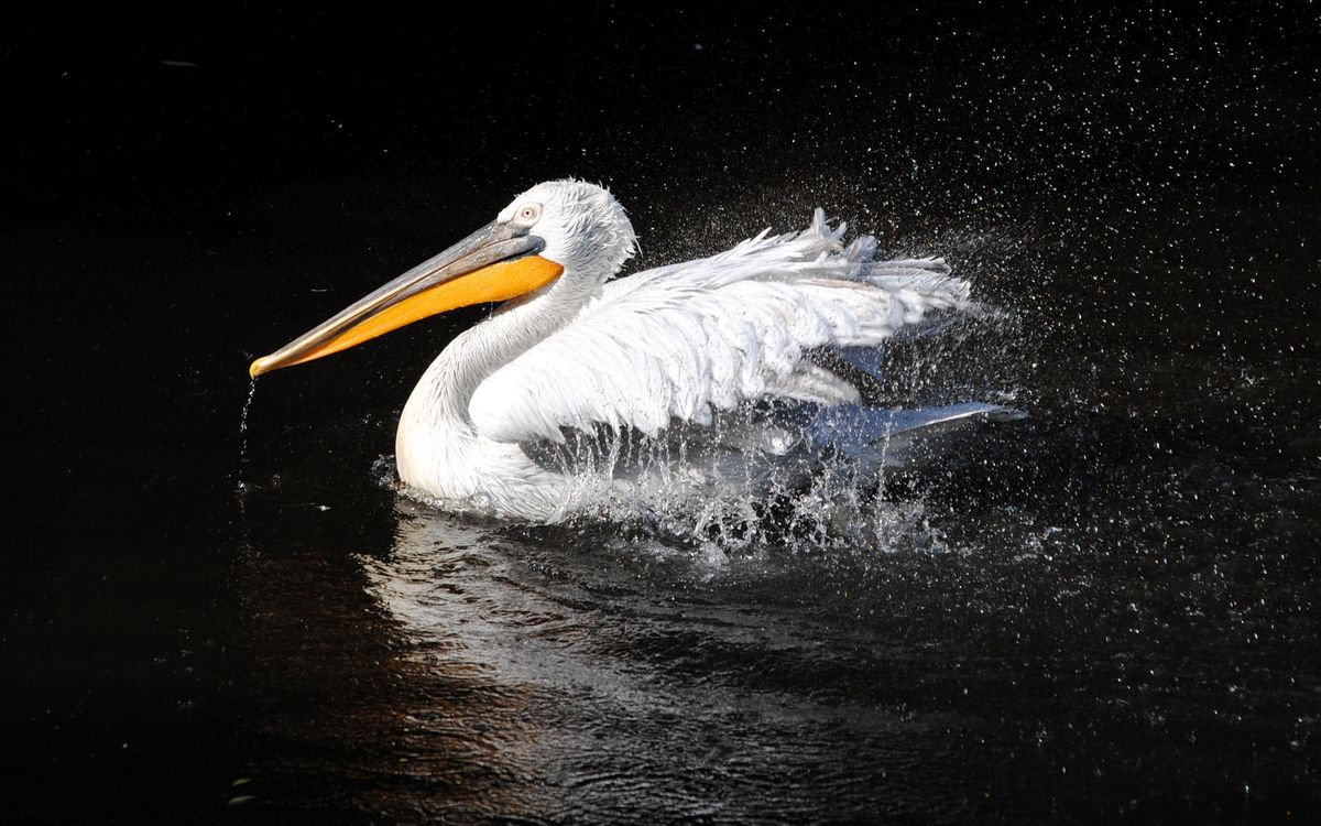 Photos for free pelican, water, spray - to the desktop
