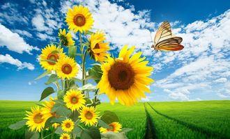 Бесплатные фото поле,следы,подсолнух,желтый,бабочка,небо,облака