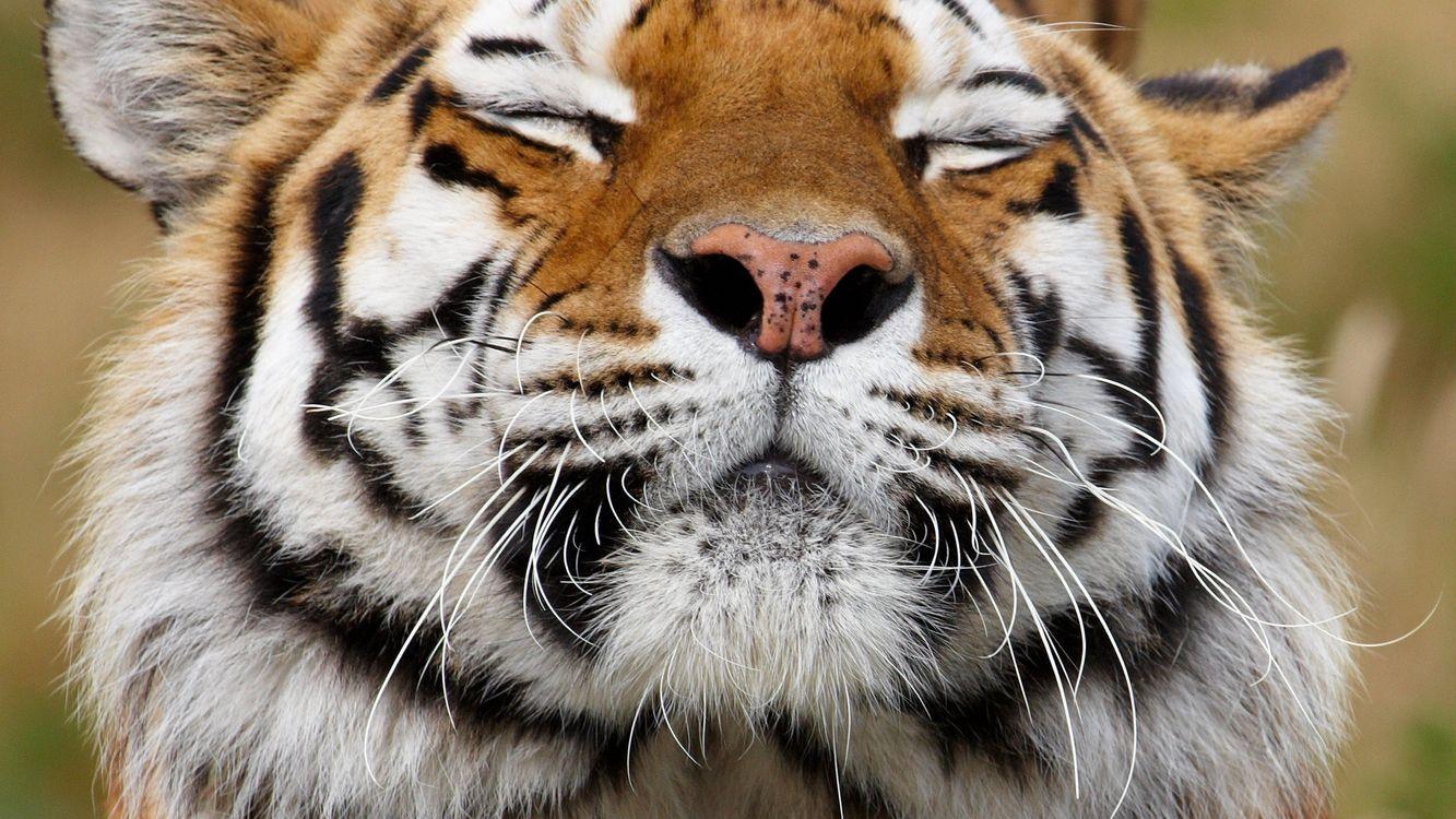 Фото бесплатно тигр, хищник, нос - на рабочий стол