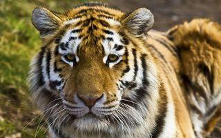 Фото бесплатно тигр, окрас, полосатый
