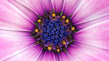 Обои цветок, лепестки, тычинка, серединка, пестики, лиловые, макро