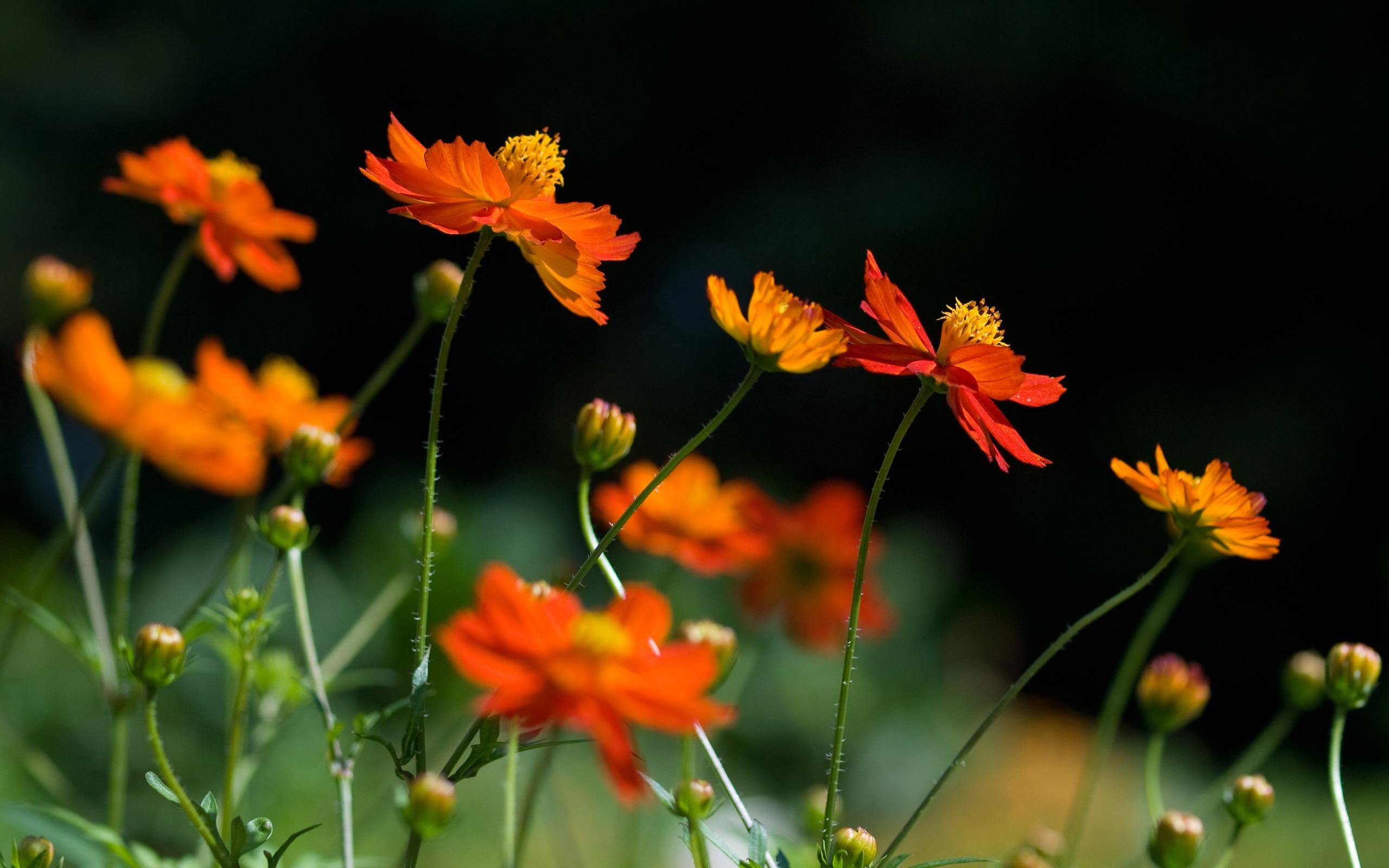 Красные оранжевые цветы бесплатно