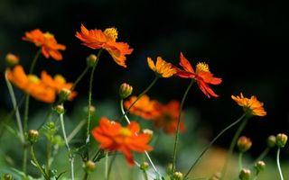 Обои цветы, цветут, оранжевые, стебли, зеленые, поле