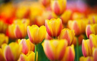 Бесплатные фото тюльпаны, стебель, зеленый, лепестки, желтые, роса, капли