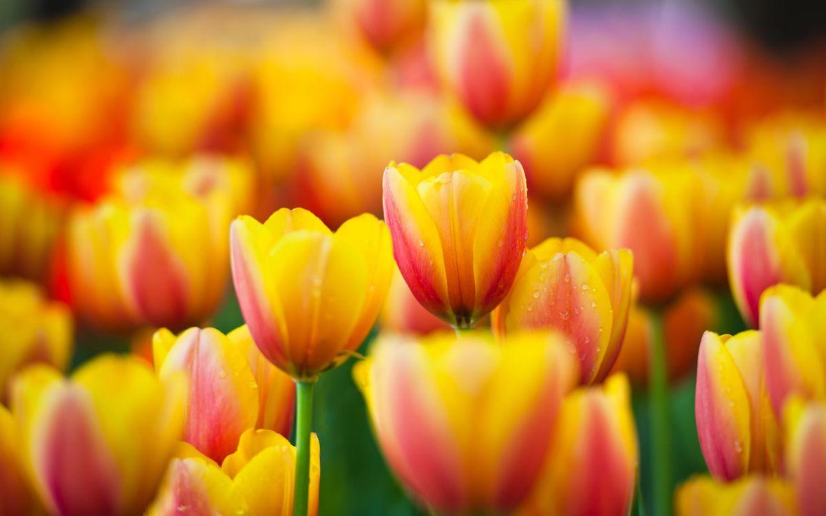 Фото бесплатно тюльпаны, стебель, зеленый, лепестки, желтые, роса, капли, цветы, цветы
