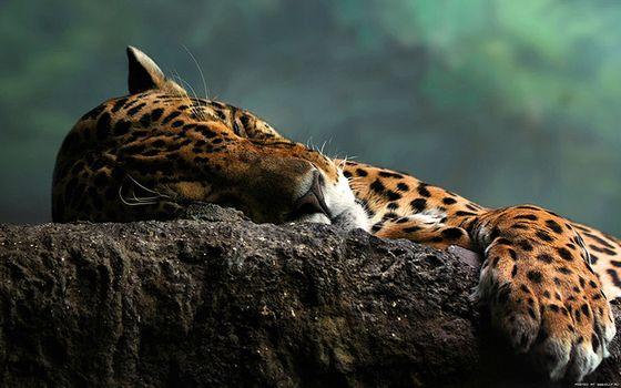 Бесплатные фото ягуар,кішка,плями,спить,камінь,животные,кошки