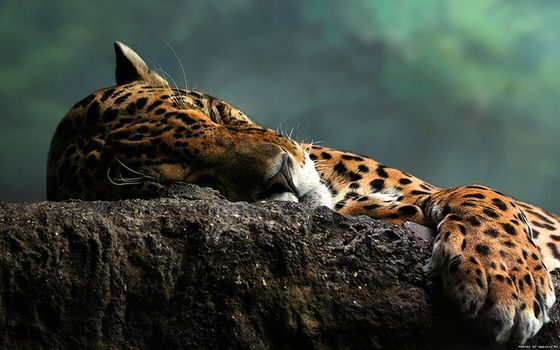 Заставки животные, Jaguar, кошки