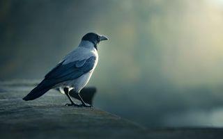 Фото бесплатно птица, ворона, смотрит