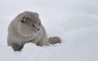 Бесплатные фото кот,шотландский,вислоухий