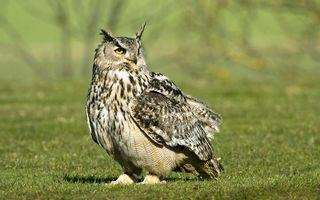 Photo free eagle owl, ears, eyes