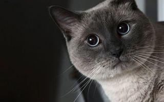 Бесплатные фото кот,сиамский,морда,глаза,голубые,шерсть