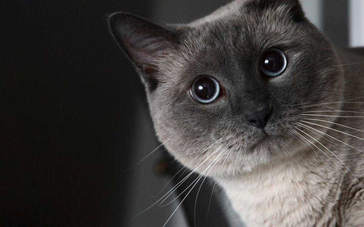 Фото бесплатно кот, сиамский, морда - на рабочий стол