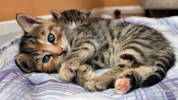 Заставки уши, пушистый, кот