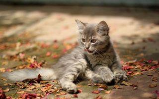 Заставки кот, маленький, рот