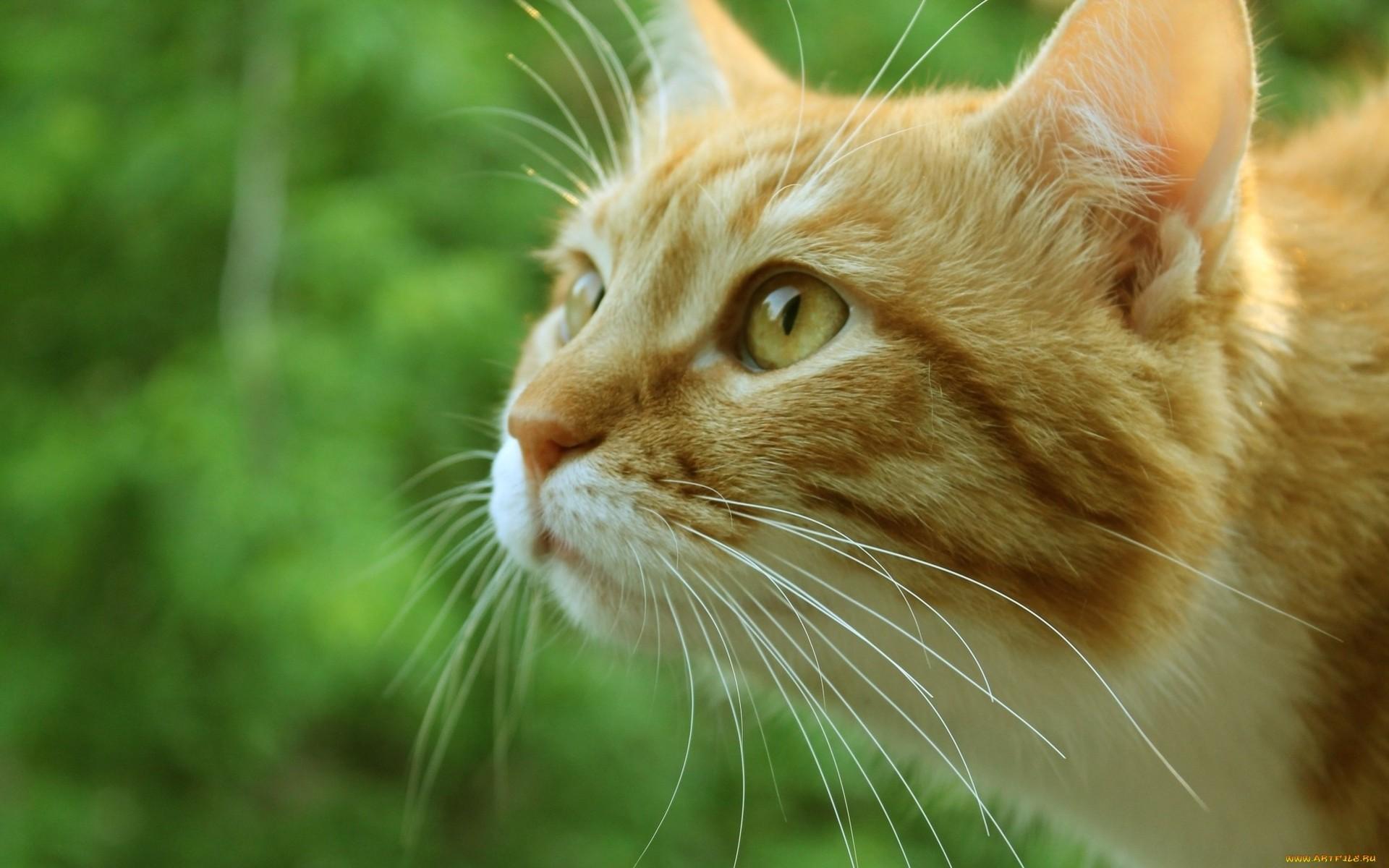 кот, рыжий, усы