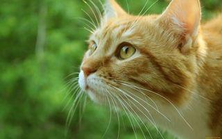 Бесплатные фото кот,рыжий,усы,уши,шерсть,зелень,взгляд
