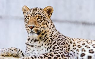 Photo free spotted leopard, view, predator