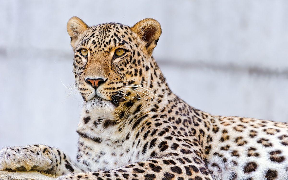 Фото бесплатно пятнистый леопард, взгляд, хищник - на рабочий стол