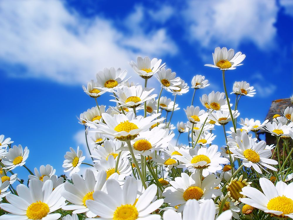 Обои ромашки, лепестки, белые, стебли, зеленые, небо, облака, цветы на телефон | картинки цветы