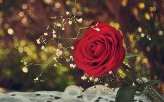 Бесплатные фото роза,зелень,растения,стебель,листья,лепестки,цветы
